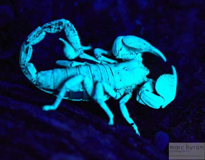 Emporer Scorpion under UV light
