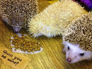 african-pygmy-hedgehogs