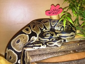 delilah-the-ball-python
