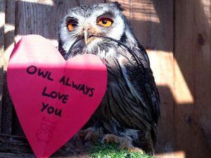 scops-owl